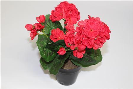 Plant Flowering Geranium In Pot H30cm Red thumbnail