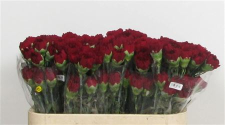 Carnations Colombian Burgandy thumbnail
