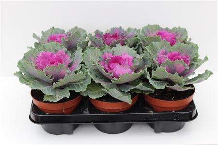 Brassica Flat Leaf Purple thumbnail